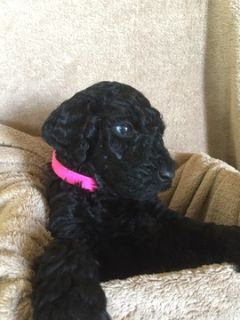 Labradoodle PUPPY FOR SALE ADN-93066 - Lovable F1b Labradoodle puppies