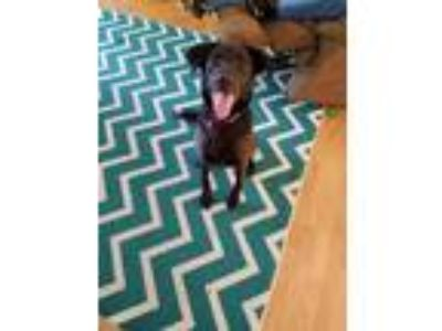 Adopt Luna a Black Australian Shepherd / Labrador Retriever / Mixed dog in