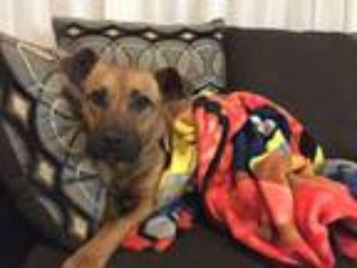 Adopt Tater Tot a German Shepherd Dog