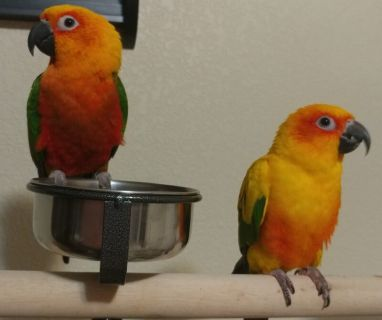 Bonded pair of conures