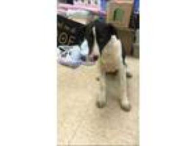 Adopt 42259648 a White Anatolian Shepherd / Labrador Retriever / Mixed dog in