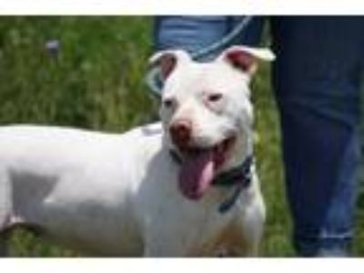 Adopt Lola Grace a Pit Bull Terrier