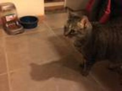 Adopt Charlotte a Tortoiseshell Domestic Shorthair / Mixed cat in Garden City