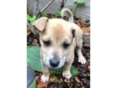 Adopt MALE #1 a Tricolor (Tan/Brown & Black & White) Labrador Retriever / German