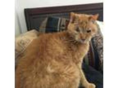 Adopt Archie a Spotted Tabby/Leopard Spotted Domestic Shorthair / Mixed cat in