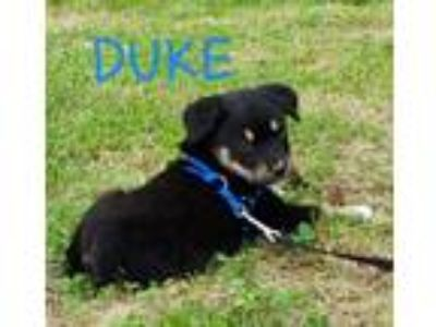 Adopt Rottweiler Shepherd mix male puppies - courtesy posting a Rottweiler