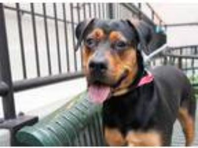 Adopt Tagg a Black Rottweiler / Mixed dog in Chicago, IL (25274832)