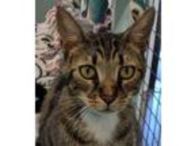 Adopt Sheldon a Brown Tabby Domestic Shorthair / Mixed (short coat) cat in
