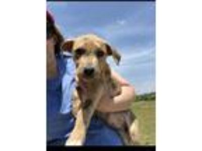 Adopt Brynlee a Golden Retriever, Plott Hound