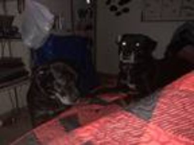 Adopt Dixie/Porkchop a Black Labrador Retriever / Labrador Retriever dog in