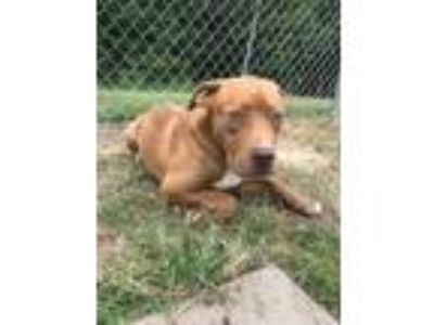 Adopt Spice a Red/Golden/Orange/Chestnut Mastiff / Boxer / Mixed dog in