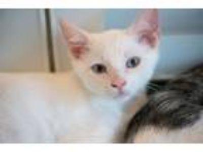 Adopt Mouse a Siamese, Domestic Short Hair