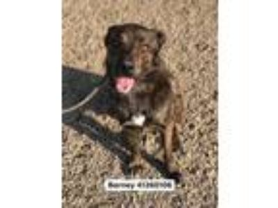 Adopt Barney a Black Dutch Shepherd / Mixed dog in Fort Worth, TX (25775918)