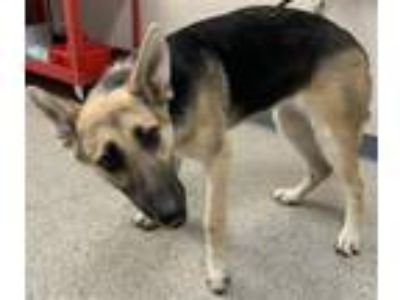 Adopt A207158 a German Shepherd Dog, Mixed Breed