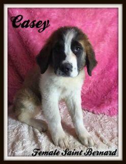 Casey Female Saint Bernard