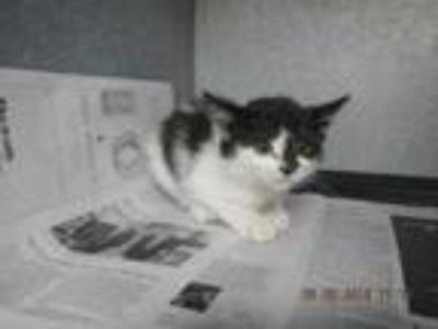 Adopt K0706 a White Domestic Mediumhair / Domestic Shorthair / Mixed cat in