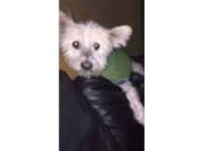 Adopt Zen a White Westie, West Highland White Terrier / Mixed dog in