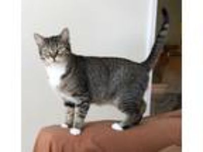 Adopt MADISON a Tabby, Tiger