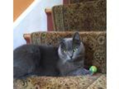 Adopt Mia a Gray or Blue Russian Blue cat in Liverpool, NY (25039310)