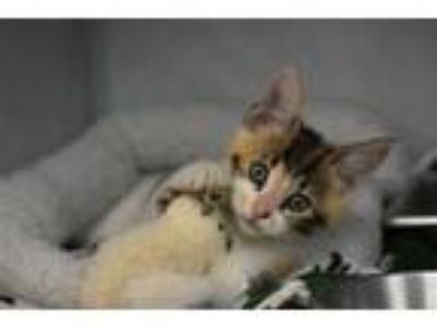 Adopt Muffin Houston Saunders Mast a Domestic Short Hair