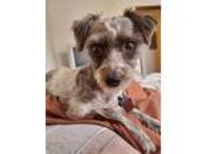 Adopt Patches a Schnauzer (Standard) / Mixed Breed (Medium) / Mixed dog in