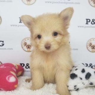 Pomeranian-Poodle (Toy) Mix PUPPY FOR SALE ADN-96429 - POMAPOO VIOLET FEMALE