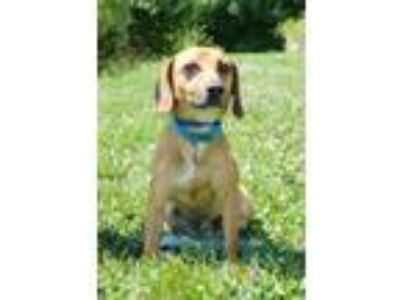 Adopt Rocky a Tan/Yellow/Fawn - with White Jack Russell Terrier / Dachshund /