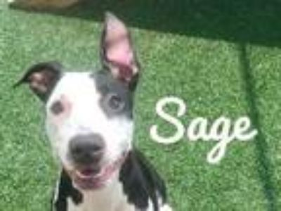 Adopt Sage a Black American Pit Bull Terrier / Mixed dog in Lewisville