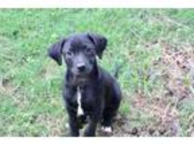 Adopt Lucky Charm a Retriever, Wirehaired Terrier
