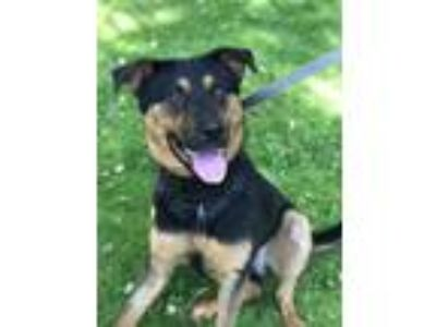 Adopt Optimus a German Shepherd Dog, Rottweiler