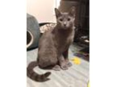 Adopt Jackson a Gray, Blue or Silver Tabby Domestic Shorthair (short coat) cat