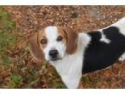 Adopt ELLIE a Tricolor (Tan/Brown & Black & White) Beagle / Mixed dog in Panama