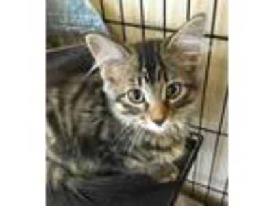 Adopt 984-19 a Brown or Chocolate Domestic Longhair / Domestic Shorthair / Mixed