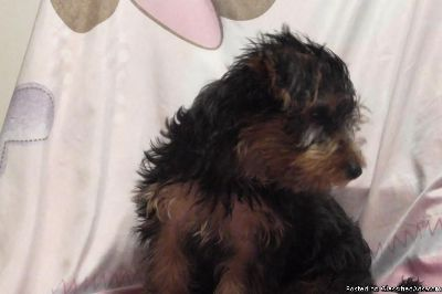 Purebred Toy Yorkie puppies for sale