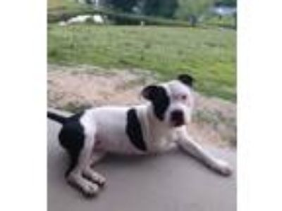 Adopt Fiona Grace a White - with Black American Staffordshire Terrier / Mixed