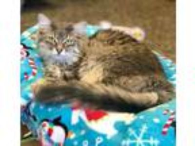 Adopt Taylor a Gray or Blue Domestic Longhair / Domestic Shorthair / Mixed cat
