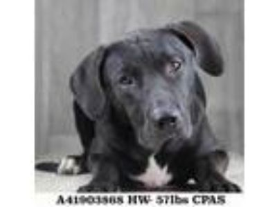 Adopt Benny a Black Labrador Retriever / Mixed dog in Shreveport, LA (25562537)