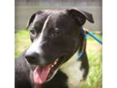 Adopt GENDRY a Black - with White American Pit Bull Terrier / Mixed dog in