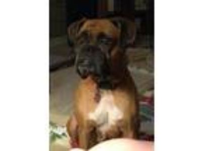 Adopt Gracie - FOSTER OR ADOPT ME!! a Boxer