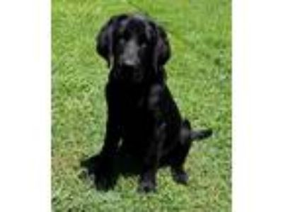 Adopt Doc-NY a Black Retriever (Unknown Type) / Mixed dog in Patterson
