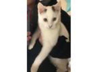 Adopt Smokey a White (Mostly) American Shorthair cat in Tulsa, OK (25590436)
