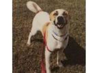 Adopt Tex a White - with Tan, Yellow or Fawn Border Collie / Boxer dog in