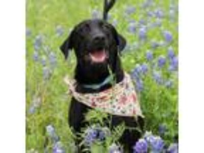 Adopt MACGYVER a Black Labrador Retriever, Catahoula Leopard Dog