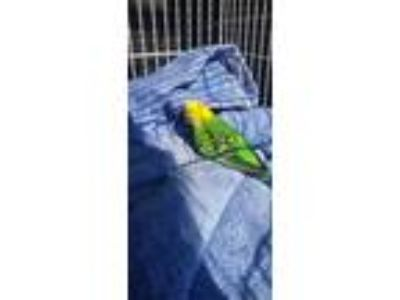Adopt Ikea a Green Parakeet - Other bird in Hillside, IL (25812626)