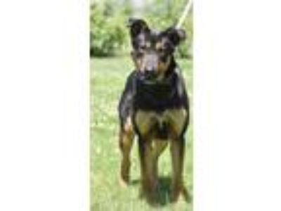 Adopt Elena a German Shepherd Dog, Rottweiler