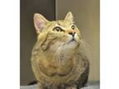 Adopt Woody a Domestic Short Hair, Tabby