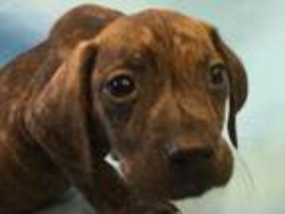 Adopt Banjo a Brindle Hound (Unknown Type) / Mixed dog in St.