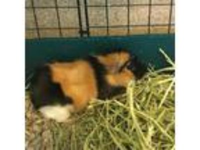 Adopt Tarzan a Calico Guinea Pig (short coat) small animal in Burlingame