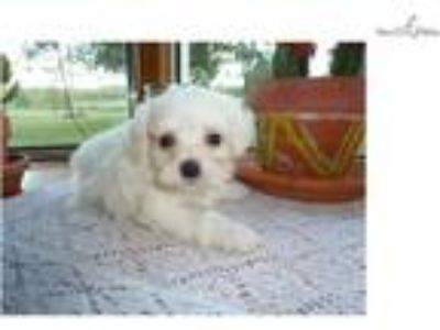 Super friendly and loveable Maltipoo puppy ready