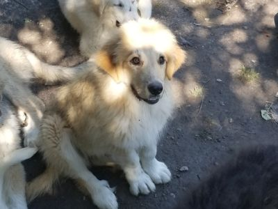 Great Pyrenees DOG FOR ADOPTION ADN-109497 - Great Pyrenees Puppies 8mos